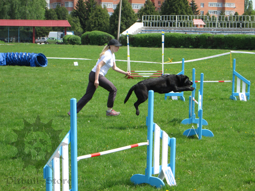 Big Dog in Agility
