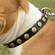 Soft Leather Dog Collar for Amstaff with Brass Decoration