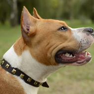 Leather Dog Collar for Amstaff Walking with Square Brass Studs