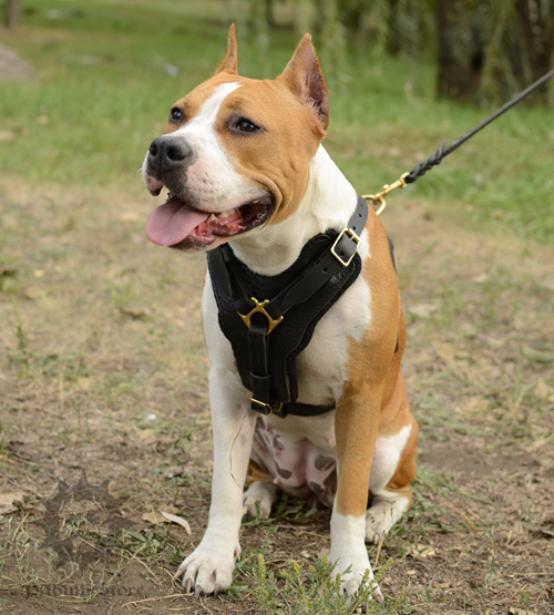 Leather Staffy Harness with Padding