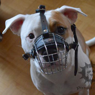 American Staffy in Our Muzzle