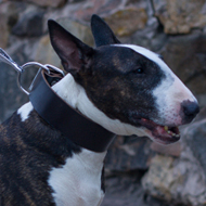 Wide Bull Terrier Collar in Traditional Design