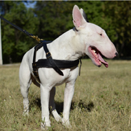 Bestseller! Bull Terrier Harness for Walking and Pulling