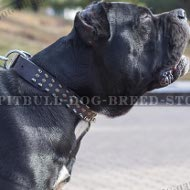 Cane Corso Dog Collar Leather with Spikes and Studs