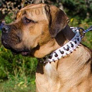 Cane Corso Dog Collar of White Leather with Studs and Spikes