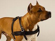 Staffie Harness