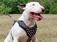 Bull Terrier Harness