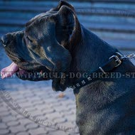 Collar for Cane Corso of Narrow Leather with Square Studs