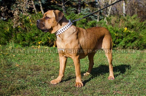 Cane Corso Collars for Sale UK