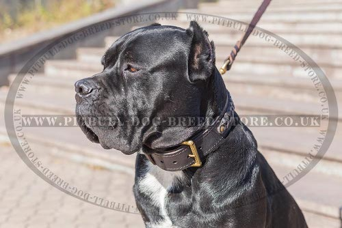 Cane Corso Leather Dog Collar
