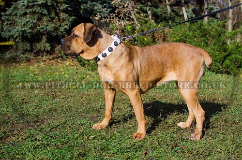 Dog Collars for Cane Corso