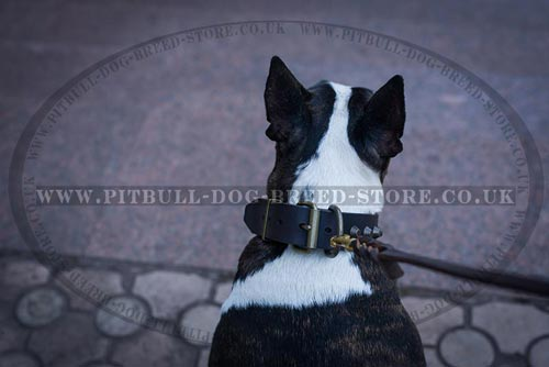 English Bull Terrier Collar