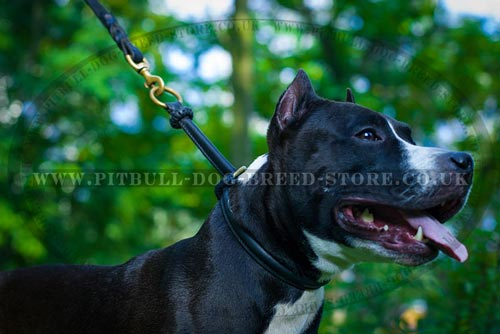 Staffordshire Terrier Collars