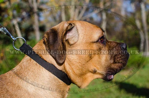 Training Collar for Cane Corso