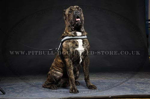 Cane Corso Walking Harness