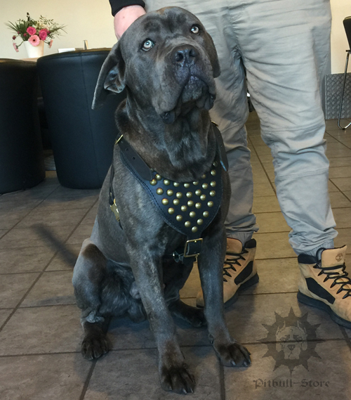Cane Corso Dog Harness