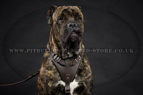 Leather Dog Harness Cane Corso