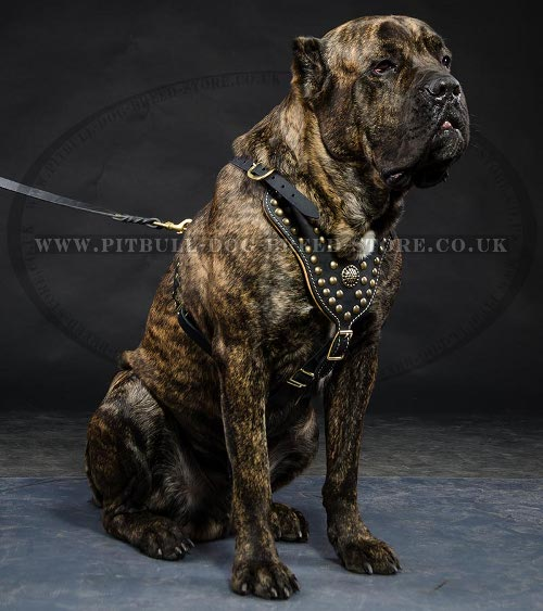 Leather Dog Harness for Cane Corso