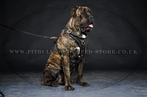 Leather Harness for Cane Corso