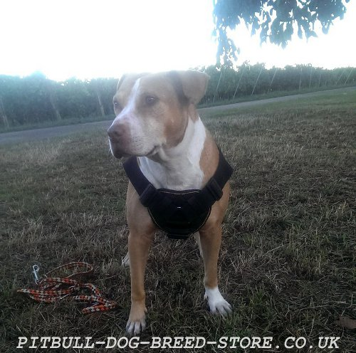 Pitbull Harness for Sale UK