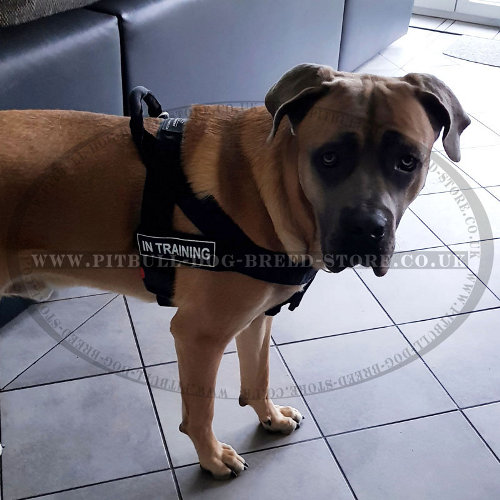 Pulling Harness for Cane Corso