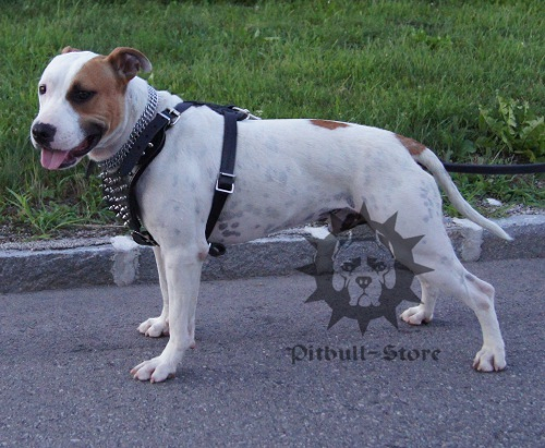 Staffordshire Bull Terrier Harness