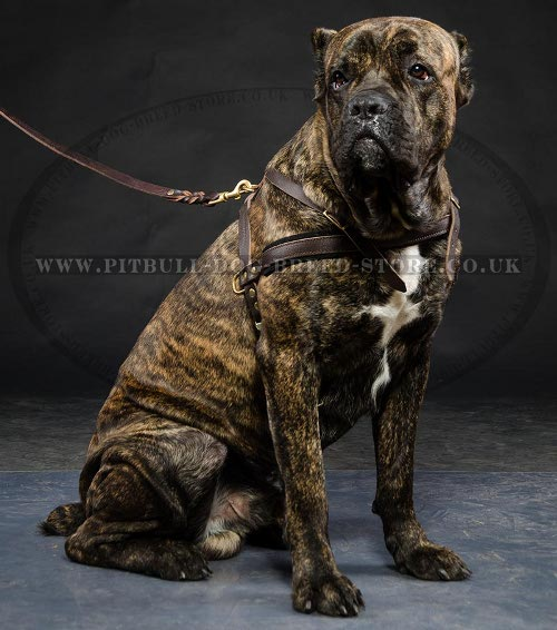 Weight Pulling Harness for Cane Corso