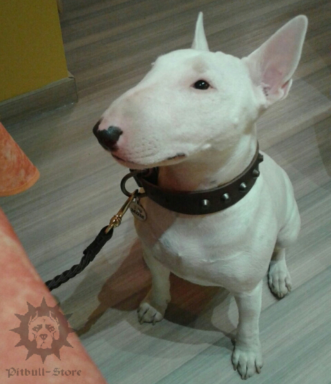 Bull Terrier Dog Lead