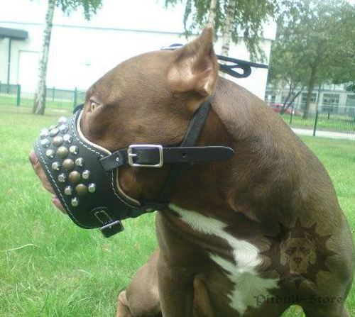 Pudded Staffy Muzzle of Leather