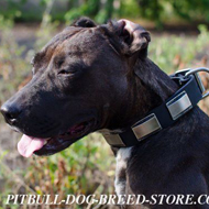 Fancy Dog Collar for Pitbull of Leather with Large Nickel Plates