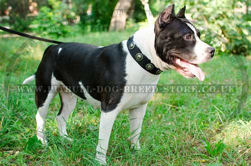 Trendy Amstaff in Walking Dog Collar