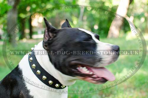 Amstaff Wide Dog Collar