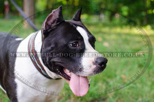 "Exclusive Dog Collar of ""Barbed Wire"" Hand Painting for Amstaff"