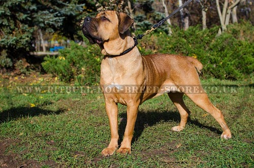 Best Type of Collar for Cane Corso Obedience Training