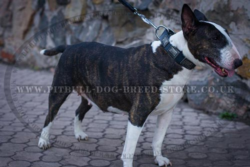 Wide Dog Collar for Bull Terrier Daily Walks