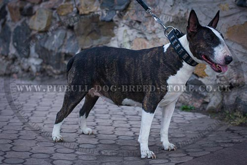 Bull Terrier Collar Adorned with Shining Long Plates