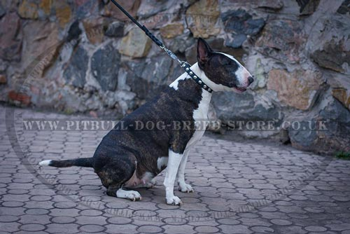 Elegant Bull Terrier Collar with Round Silver Studs