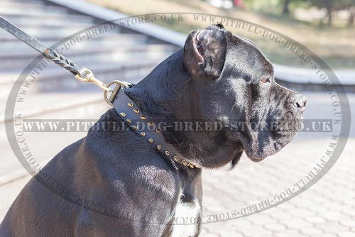 Cane Corso Collar Leather with Brass Spikes for Walking