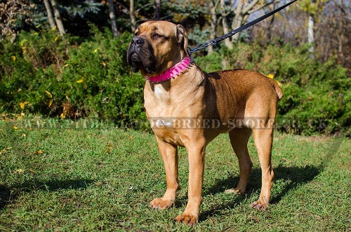 Cane Corso Collar Female of Pink Leather with 2 Rows of Spikes