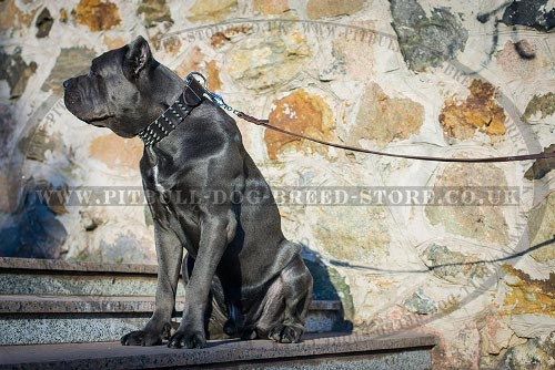 Cane Corso Collar Leather Extra Large with 4 Rows of Spikes