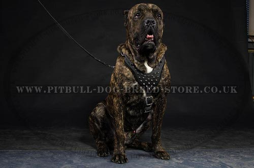 Cane Corso Dog Harness Leather with Spikes