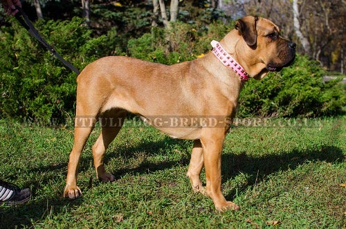 Cane Corso Leather Dog Collar Female in Pink - Click Image to Close