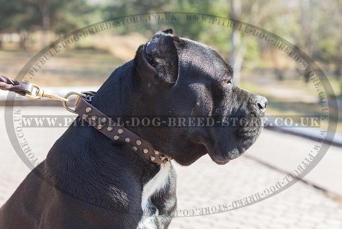 Cane Corso Leather Dog Collar with Brass Conic Frustrums