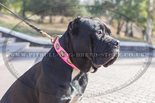 Cane Corso Mastiff Collar Female of Pink Leather in Vintage