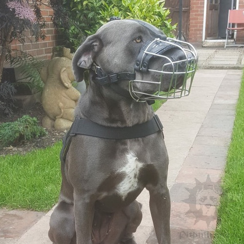 Cane Corso Muzzle of Basket Design with Felt Padding Inside