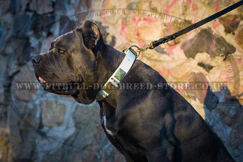 Collar for Cane Corso of White Leather with Spikes and Plates