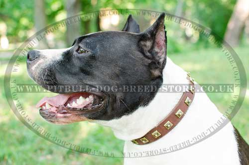 Fashion Dog Collar of Leather with Square Studs for Amstaff - Click Image to Close