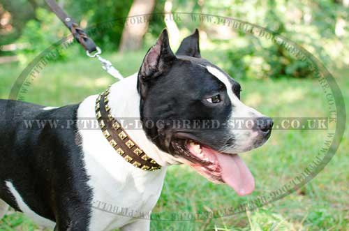 Handmade Leather Dog Collar with Brass Studs for Amstaff