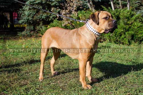 Leather Collar for Cane Corso in White with Square Nickel Studs