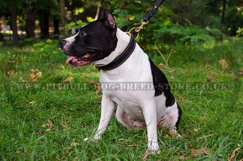 Large Dog Collar for Amstaff of Nappa Padded Leather